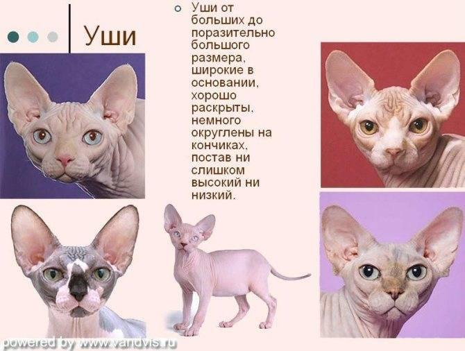 Донской сфинкс: фото кошек, цена, описание породы, стандарт и характер
