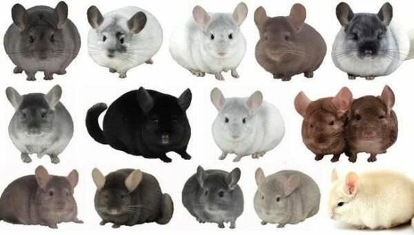 Крыса – описание, виды, что едят крысы, где обитают, фото