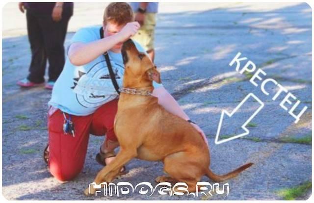 Описание породы собак стаффордширский терьер: характер, уход, предназначение