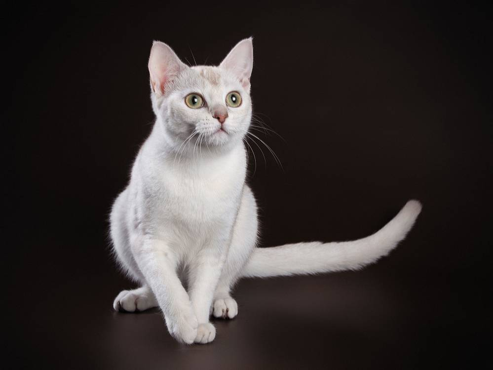 Окрасы шотландских кошек: фото, таблица, описания