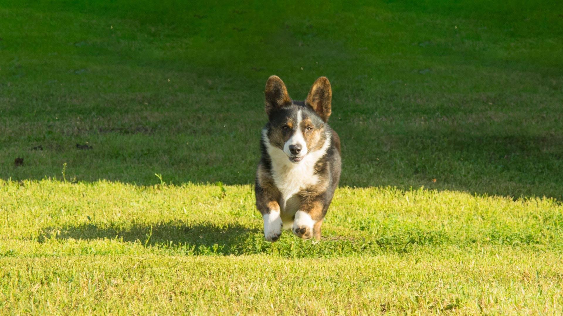 Корги: отзывы владельцев о породе собак, описание и фото питомцев, а также плюсы и минусы проживания в квартире