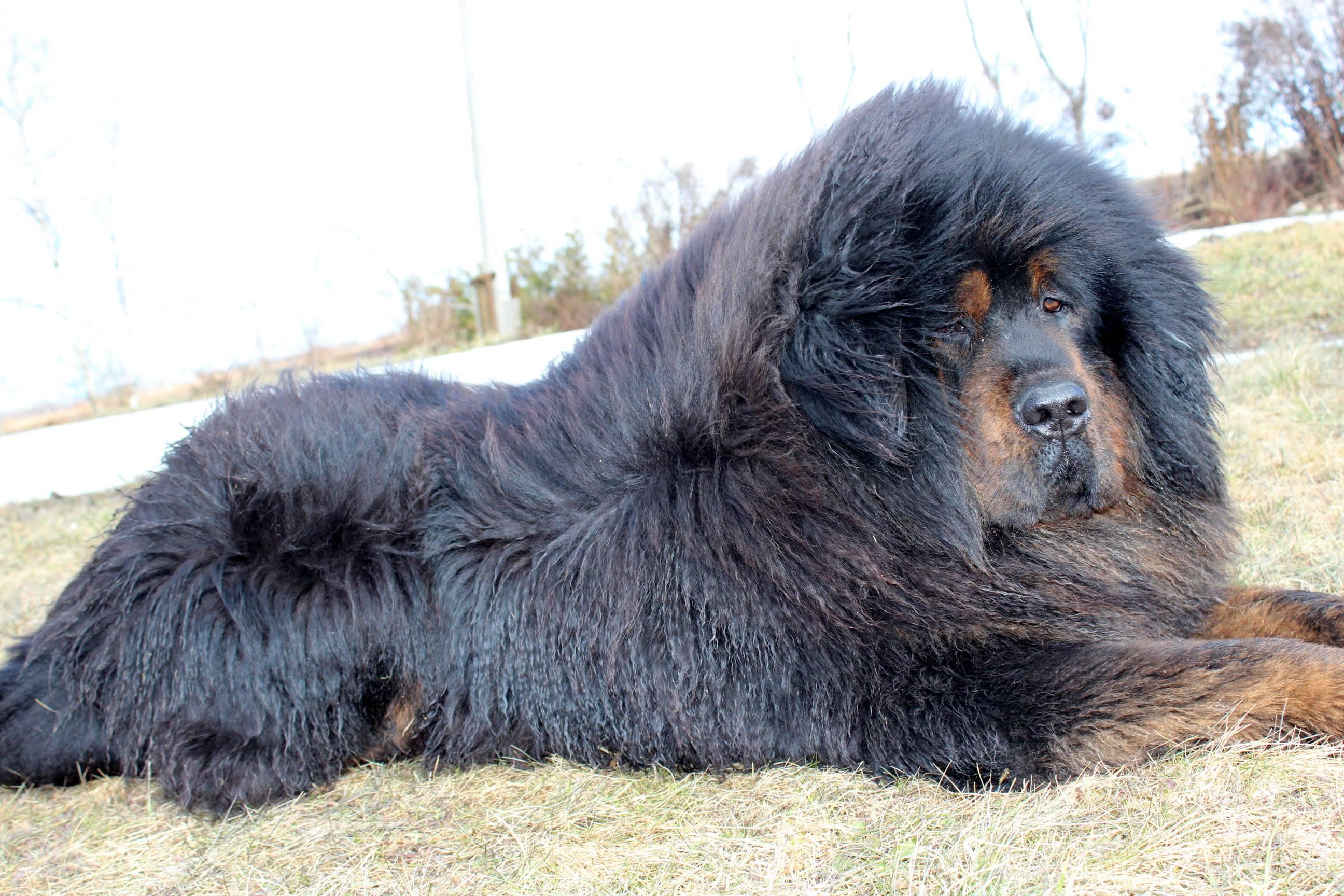 Крупные породы собак: описание и характеристика больших собак
