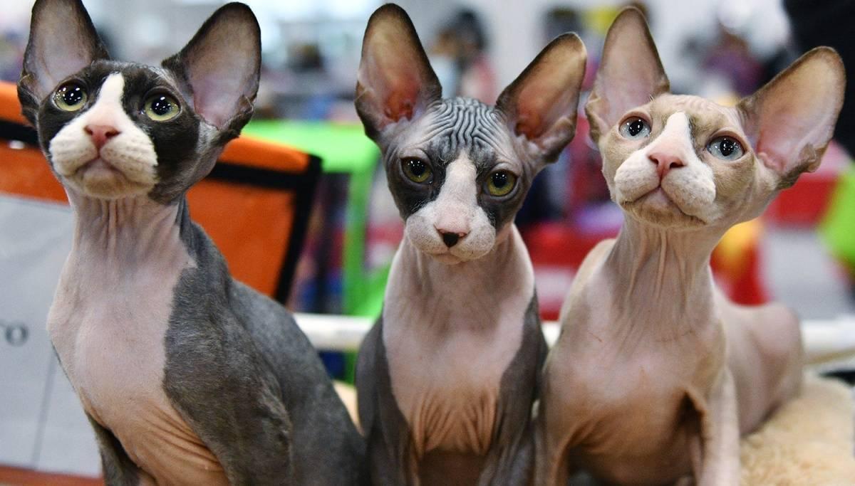Донской сфинкс – что необходимо знать каждому владельцу этой кошки?