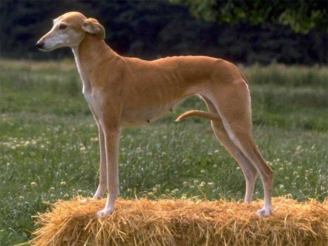 Характеристика собак породы левретка с отзывами и фото
