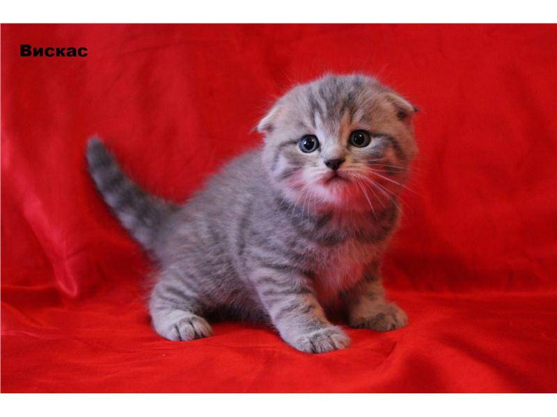Как называется порода кошек из рекламы корма «вискас»?
