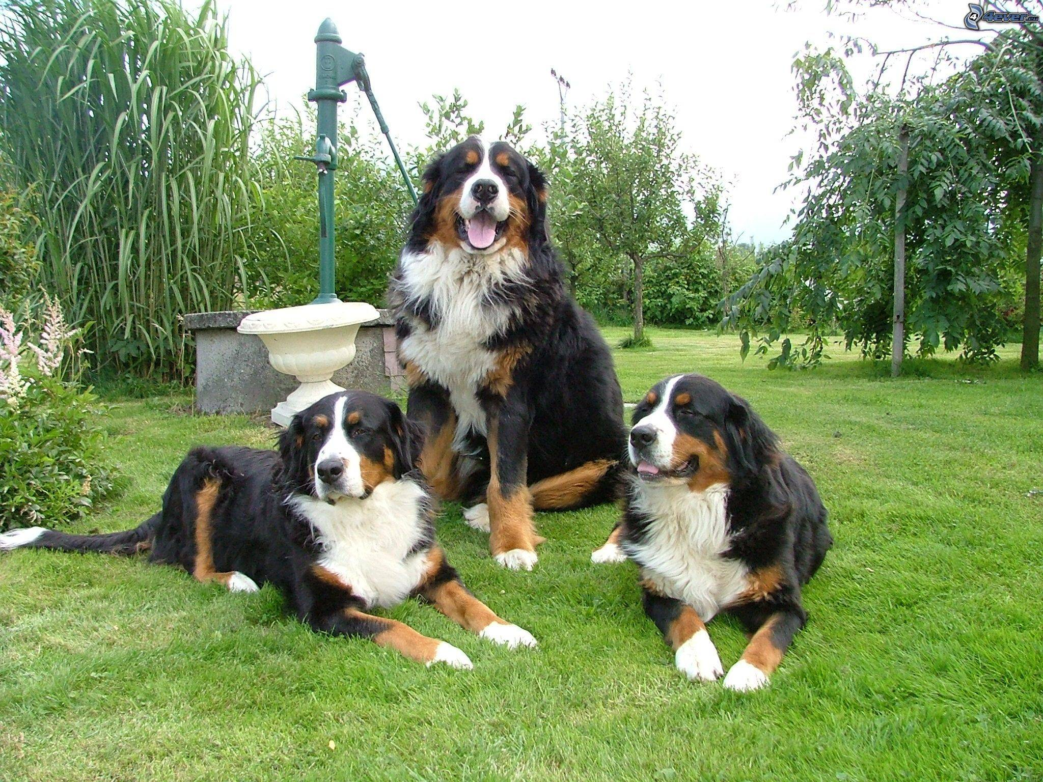 Бернский зенненхунд — описание породы, характеристика собаки
