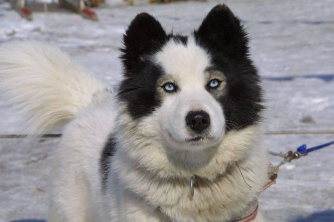 Якутская лайка: характеристика породы и описание с фото
