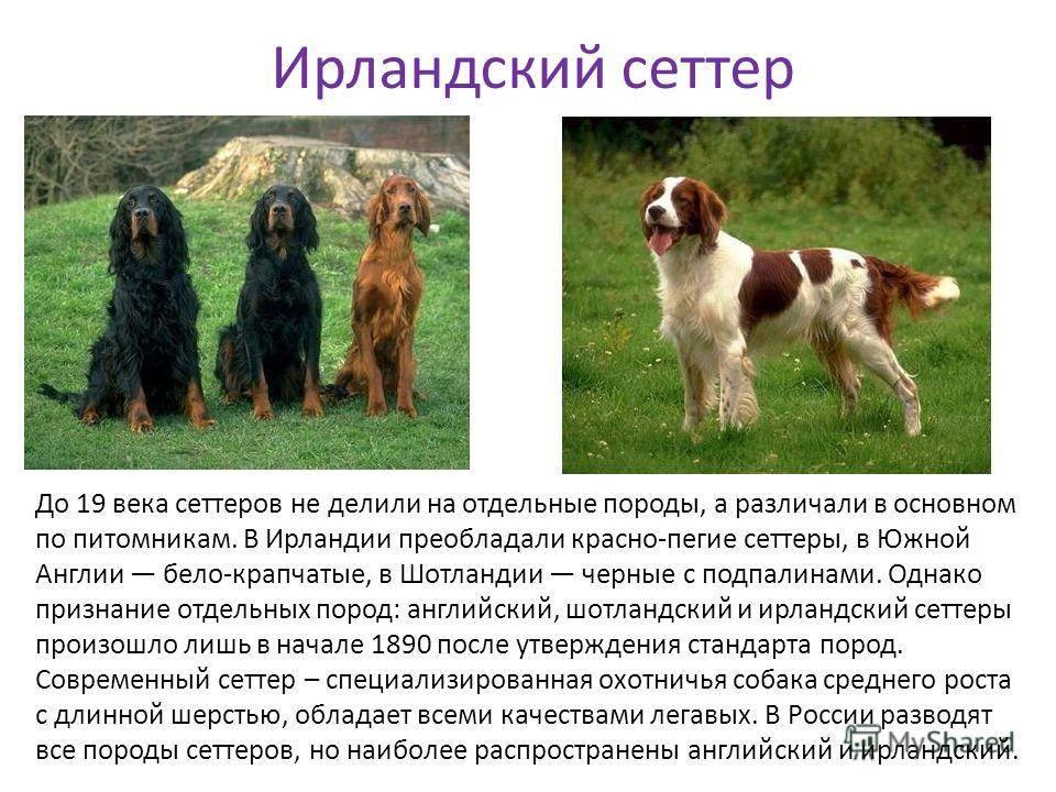 Ирландский сеттер: фото, характеристика, описание породы, характер собаки, необходимый уход и содержание с отзывами