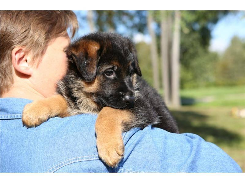 Немецкая овчарка: характеристика и описание породы, информация об особенностях поведения и характере собаки