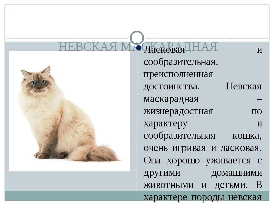 Описание внешности, характера и правил ухода за невской маскарадной породой кошек