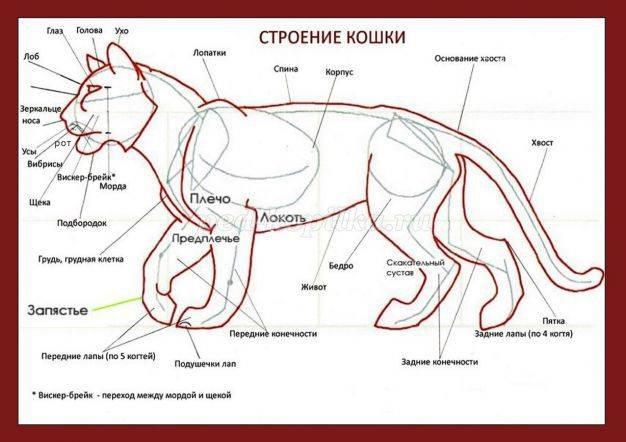 Холка у кошки: инструкция по применению