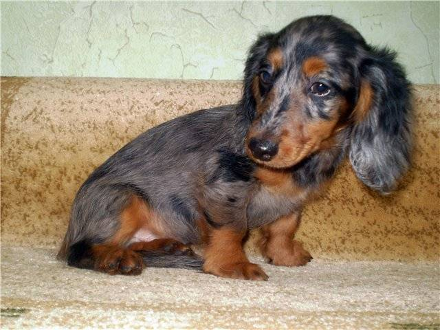 Какие породы собак имеют голубой окрас