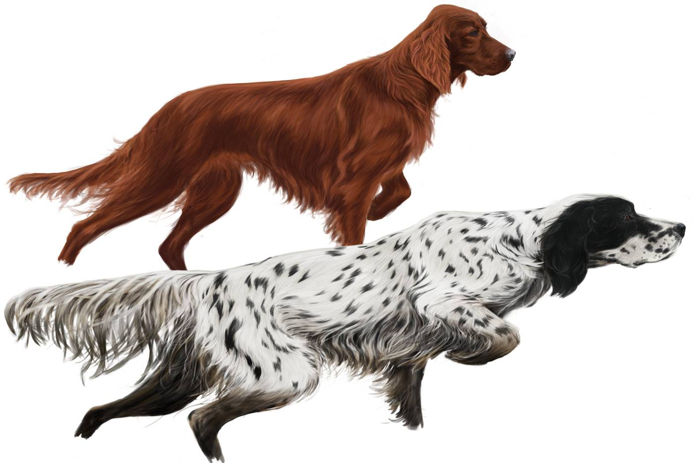 Сеттер: подвиды и характеристики собаки