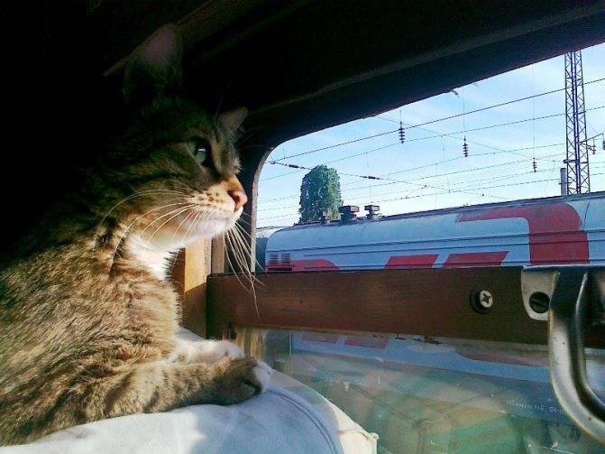 Готовимся к путешествию: как перевезти кошку в поезде