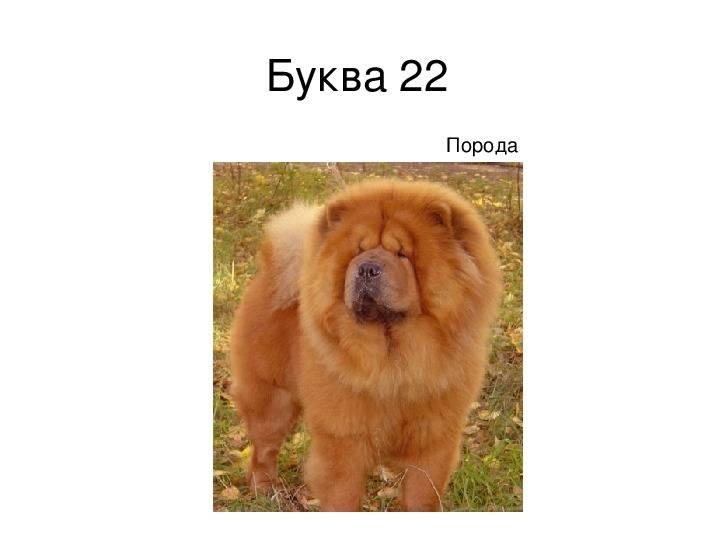 Чау-чау: подробное описание породы собак (с фото и видео)
