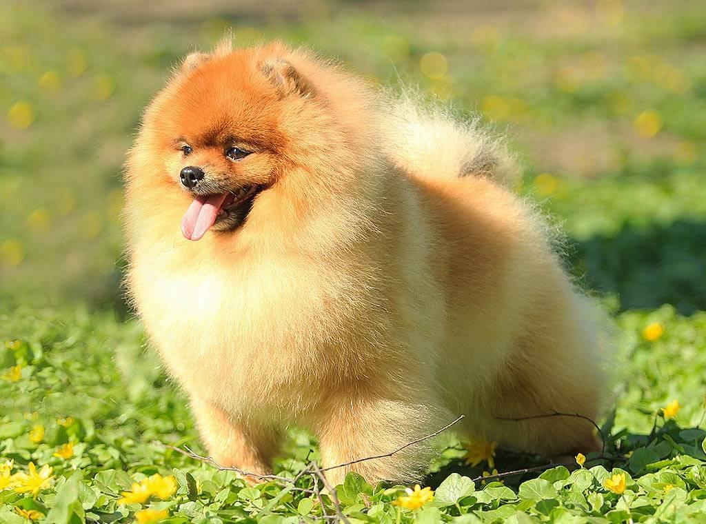 Щенки померанского шпица: как выбрать питомца в 1 и 3 месяца, а также до какого возраста растут и сколько их обычно рожает собака