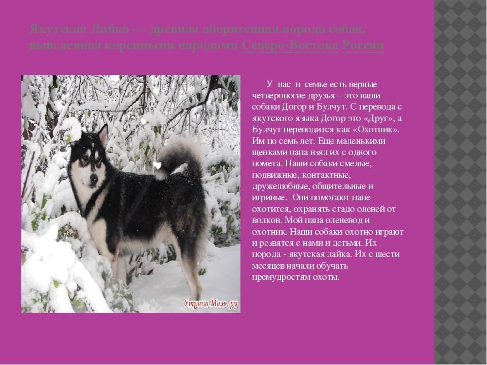 Якутская лайка: описание породы собак с фото и видео