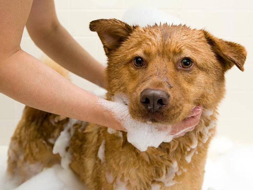 Почему нельзя мыть собаку шампунем, предназначенным для людей