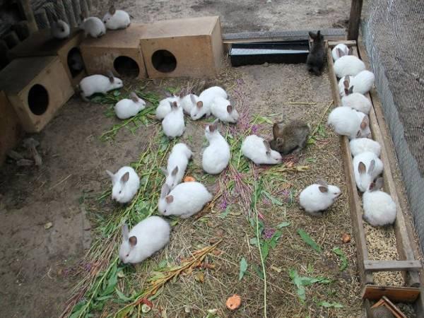 Содержание кроликов в вольерах: строительство вольера, гигиена