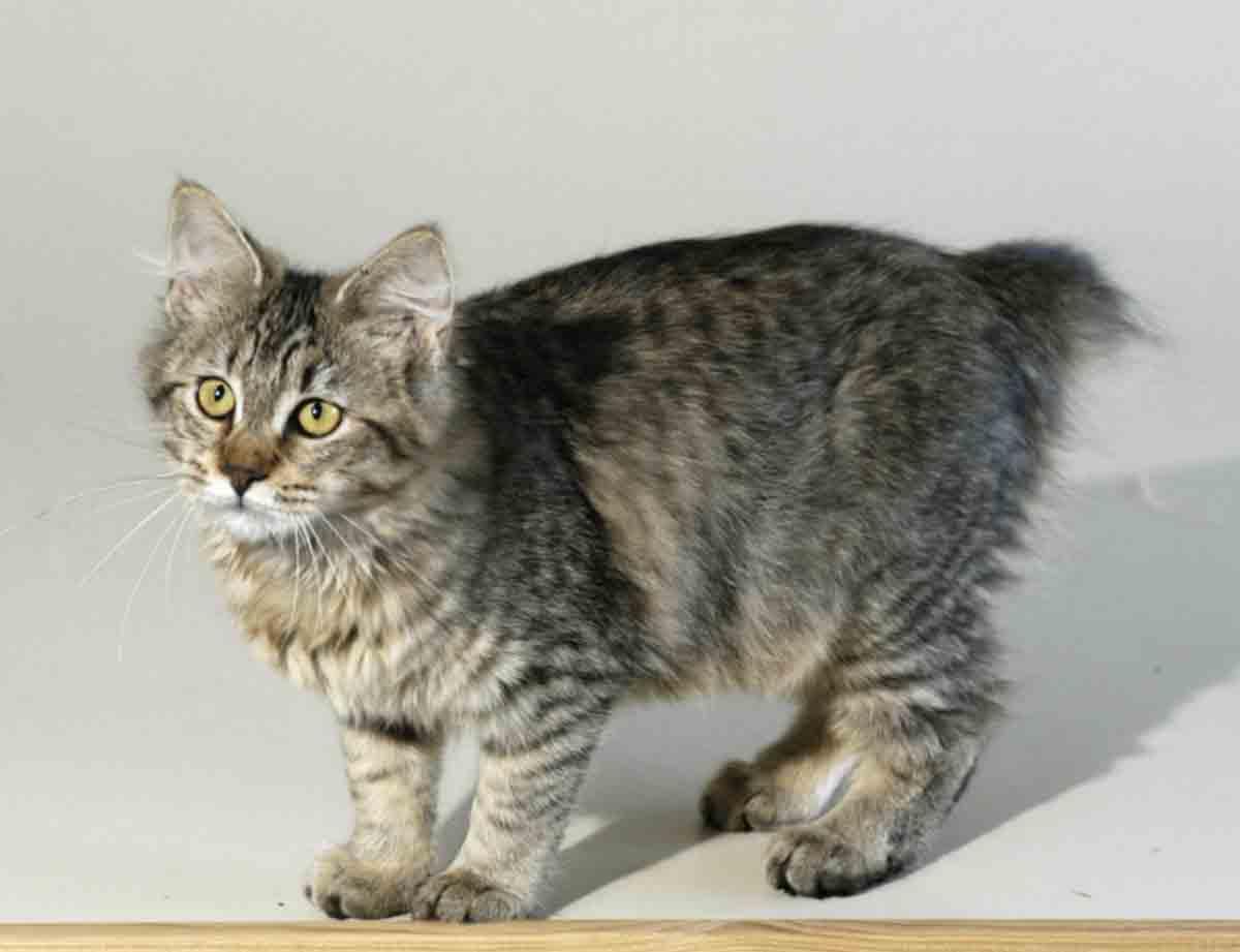Особенности характера и описание кошек породы пиксибоб, уход за ними