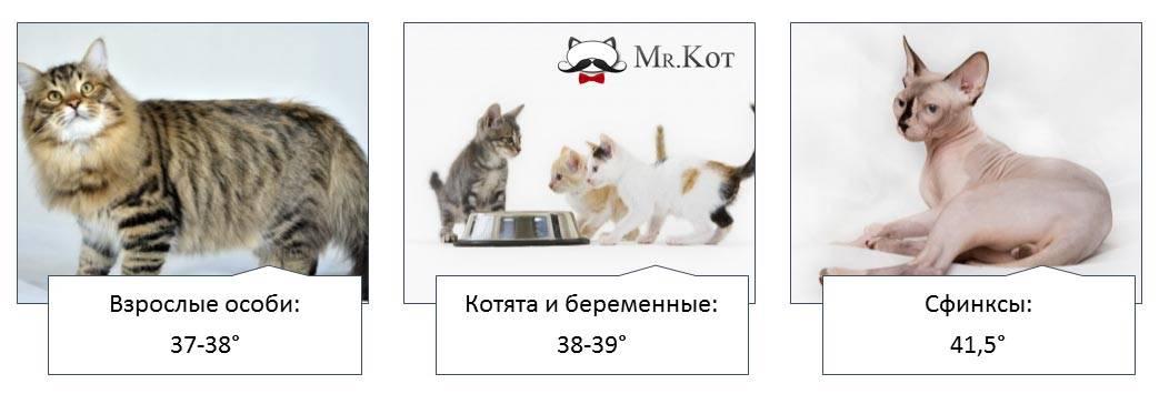 ᐉ как узнать у кота температуру без термометра, котенок с градусником - zoo-mamontenok.ru