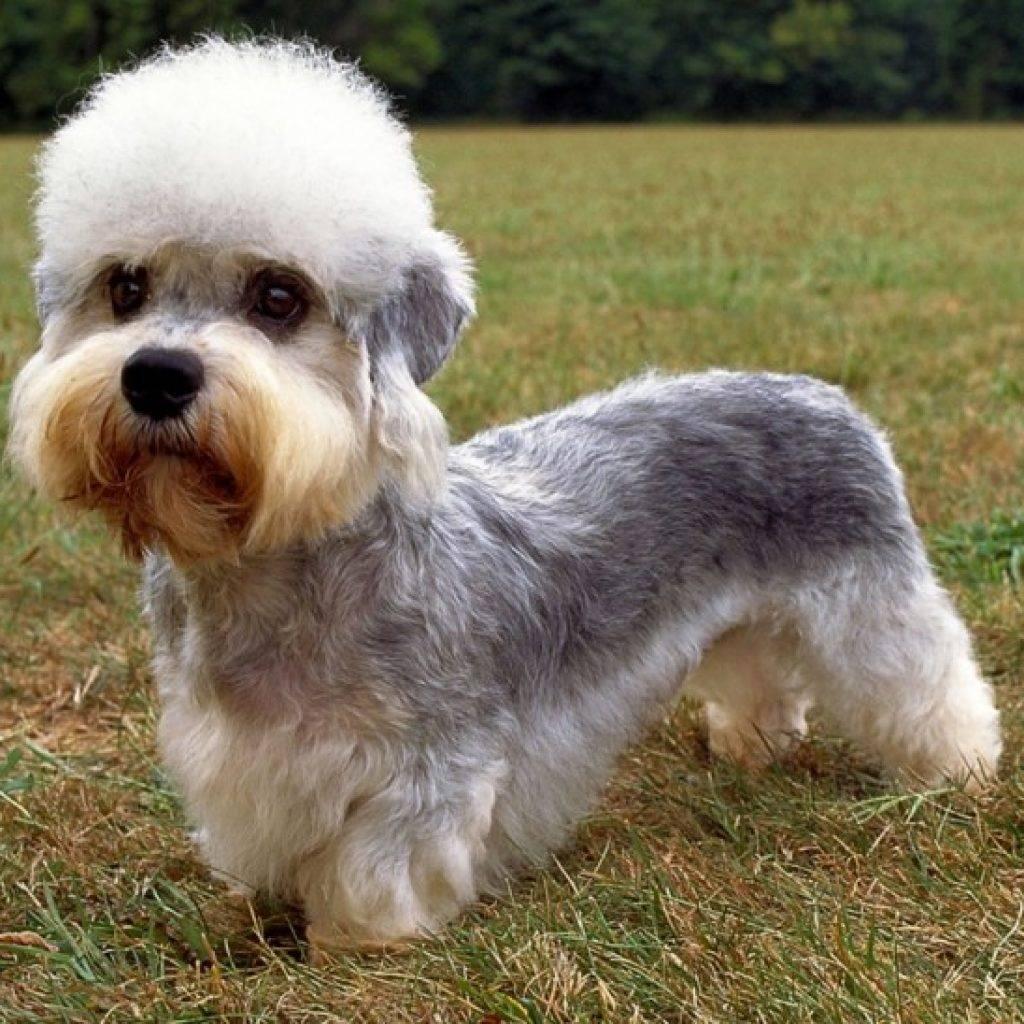 Денди-динмонт-терьер: особенности породы и советы по уходу за собаками