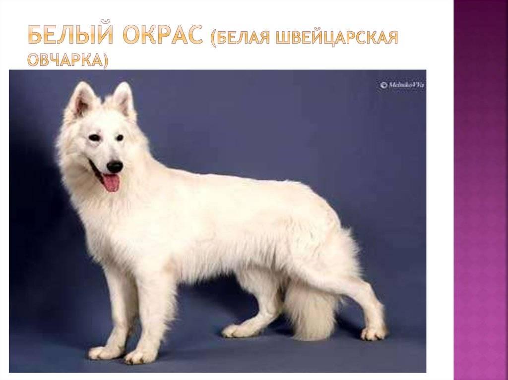 Большие пушистые собаки – 25 пород