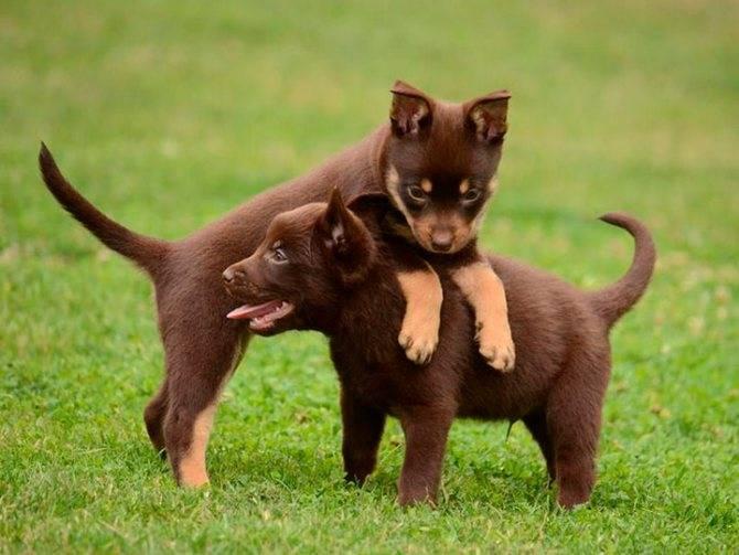 Австралийский келпи — описание породы и характер собаки