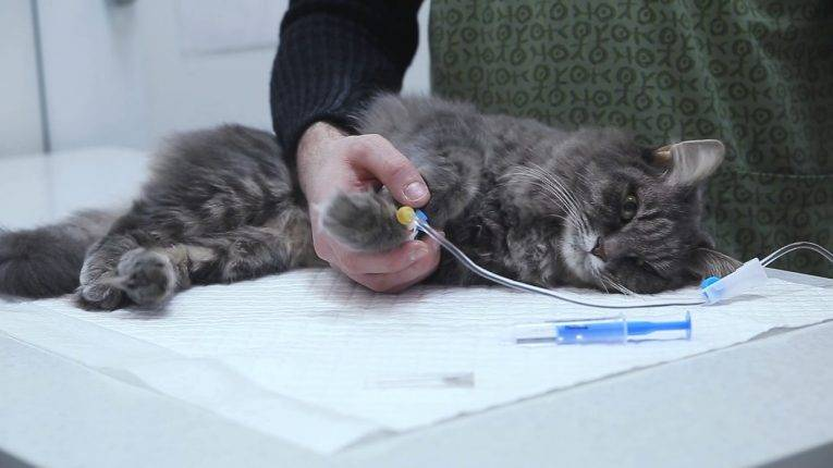 Температура у кота, что делать в домашних условиях: как узнать без градусника что она повышенна
