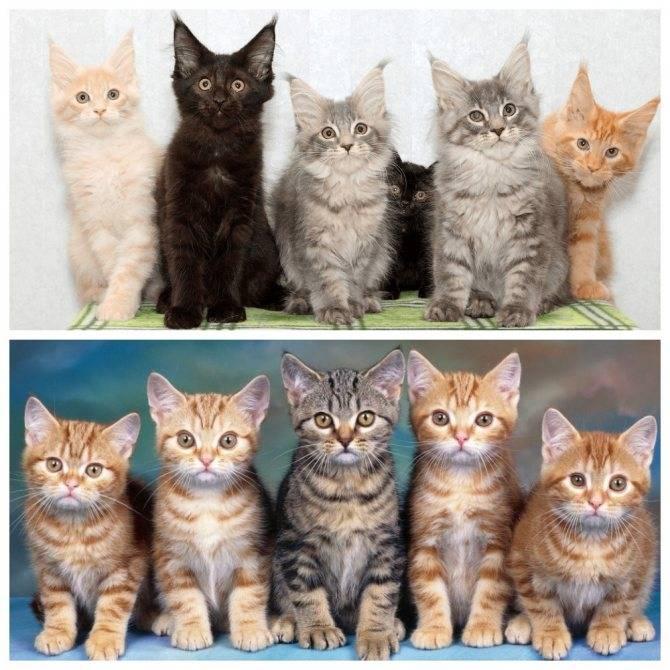 Породы кошек с фотографиями и названиями пород, более 60 шт.