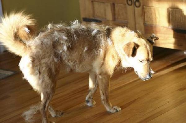 Когда меняется шерсть у щенков: первая линька, особенности линьки у длинношерстных и короткошерстных пород