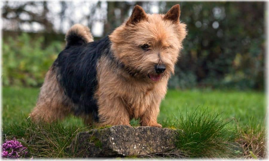 Порода собак норфолк-терьер - описание, характер, характеристика, фото норфолк-терьеров и видео, цена