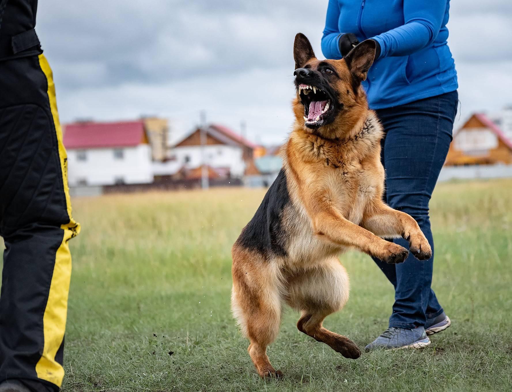 Как научить собаку команде «дай лапу» — разбираем поэтапно с указанием ошибок