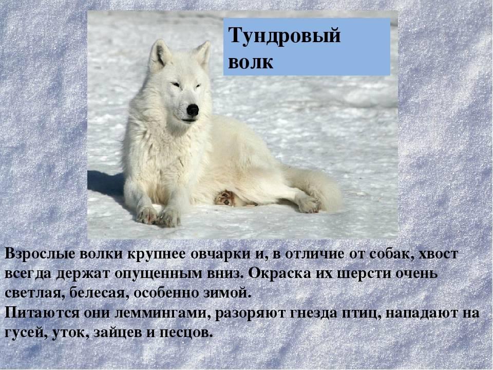 Чем волк отличается от собаки