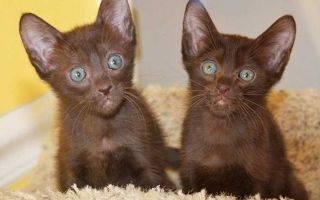 Кошки » породы » гавана браун