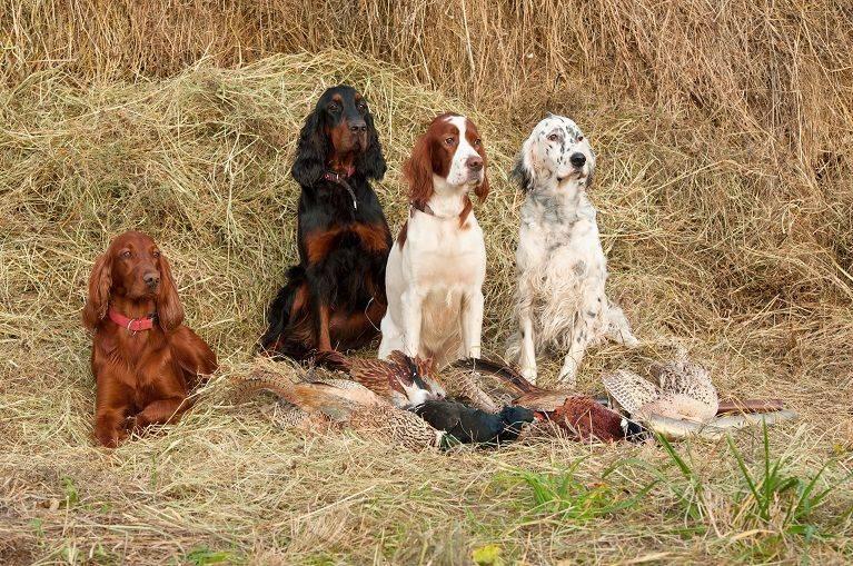 Ирландский сеттер (46 фото): характеристика породы. почему собак называют красными? характер взрослых собак, уход за  щенками в домашних условиях