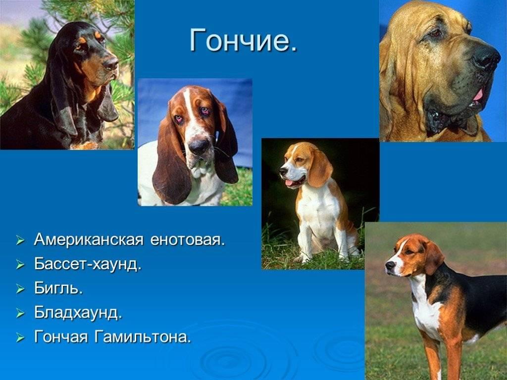 Гончая плотта: описание и характеристика породы, характер, фото   все о собаках