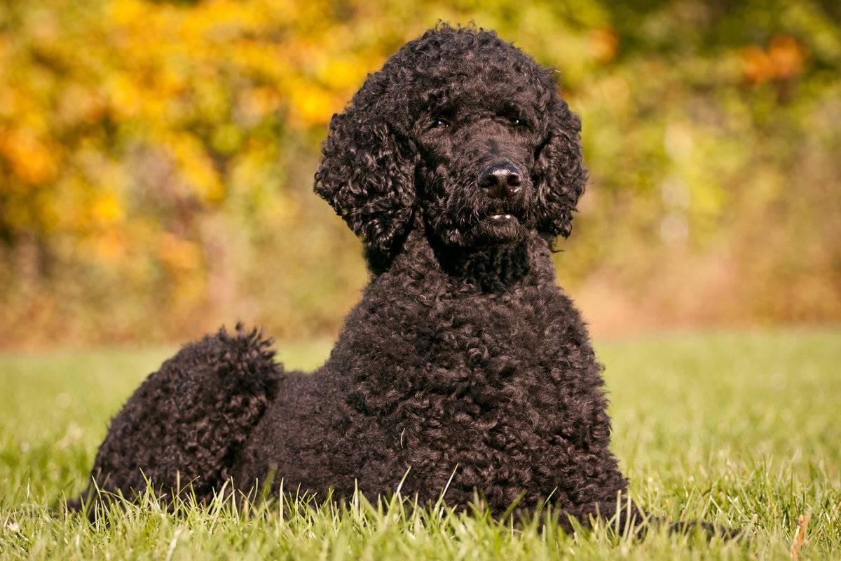 Обзор кудрявых собак маленьких и больших пород с разным цветом шерсти