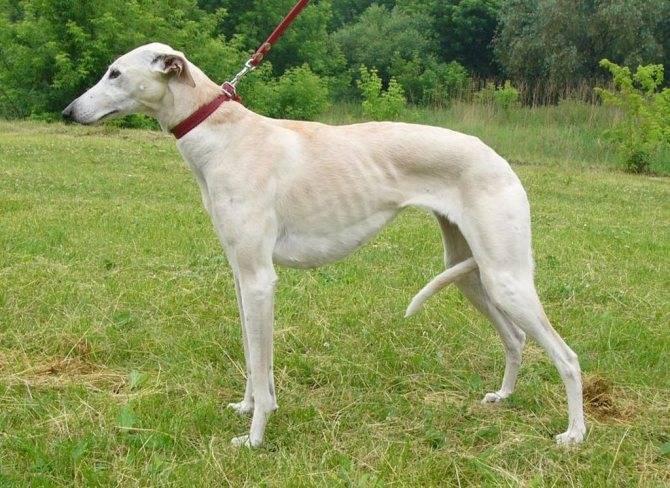 Левретка собака. описание, особенности, уход и цена левретки