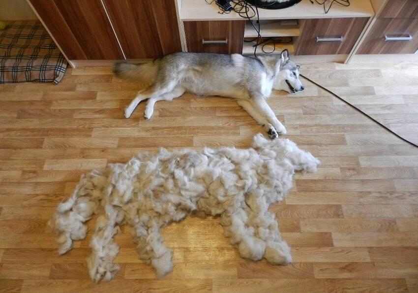 Линька у собак: что делать, когда питомец линяет, что такое экспресс линька, советы - kotiko.ru линька у собак: что делать, когда питомец линяет, что такое экспресс линька, советы - kotiko.ru