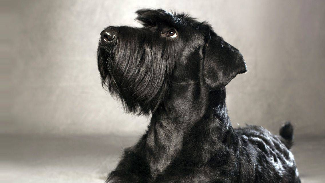 Миттельшнауцер: описание породы, фото, характер собаки, окрасы, плюсы и минусы
