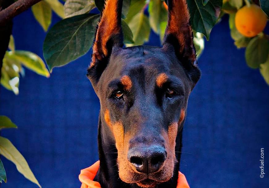 Меньше добермана: какие из похожих пород, какой тип напоминает маленькую комнатную собаку, в чем отличие от пинчера, сильнее ли ротвейлера или немецкой овчарки?