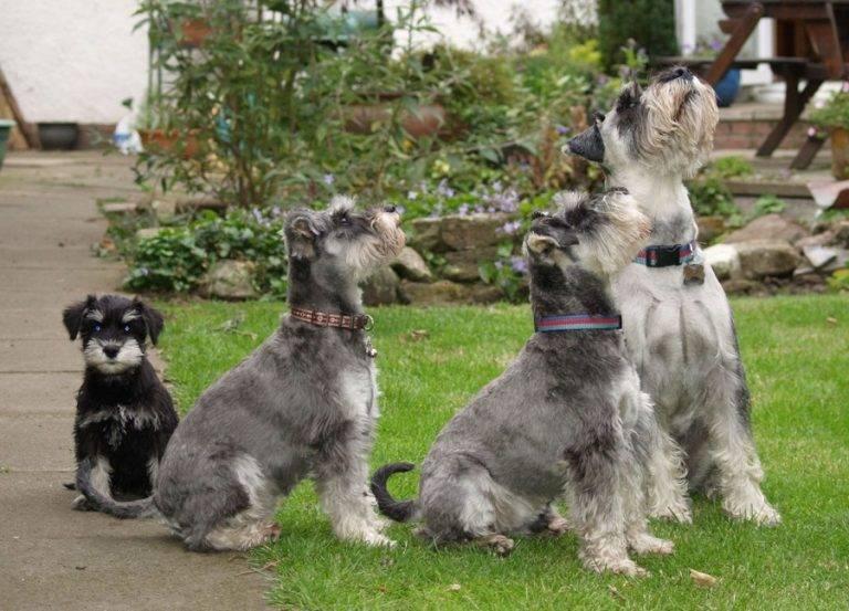 Порода собак цвергшнауцер, миниатюрный шнауцер, карликовый шнауцер: фото, видео, описание породы и характер