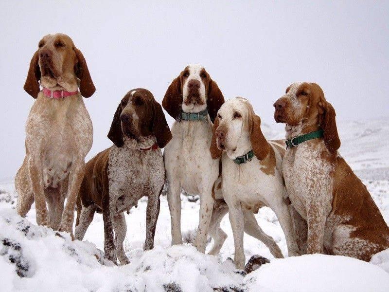 Бладхаунд собака описание породы