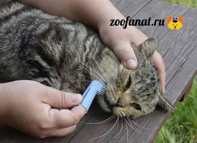 Способы самостоятельной чистки зубов кошке в домашних условиях