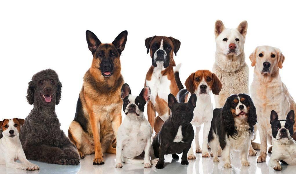 Породы собак для начинающего владельца   hidogs.ru