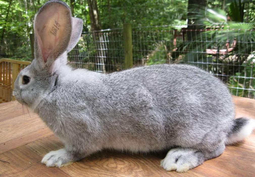 Какую породу декоративного кролика выбрать?