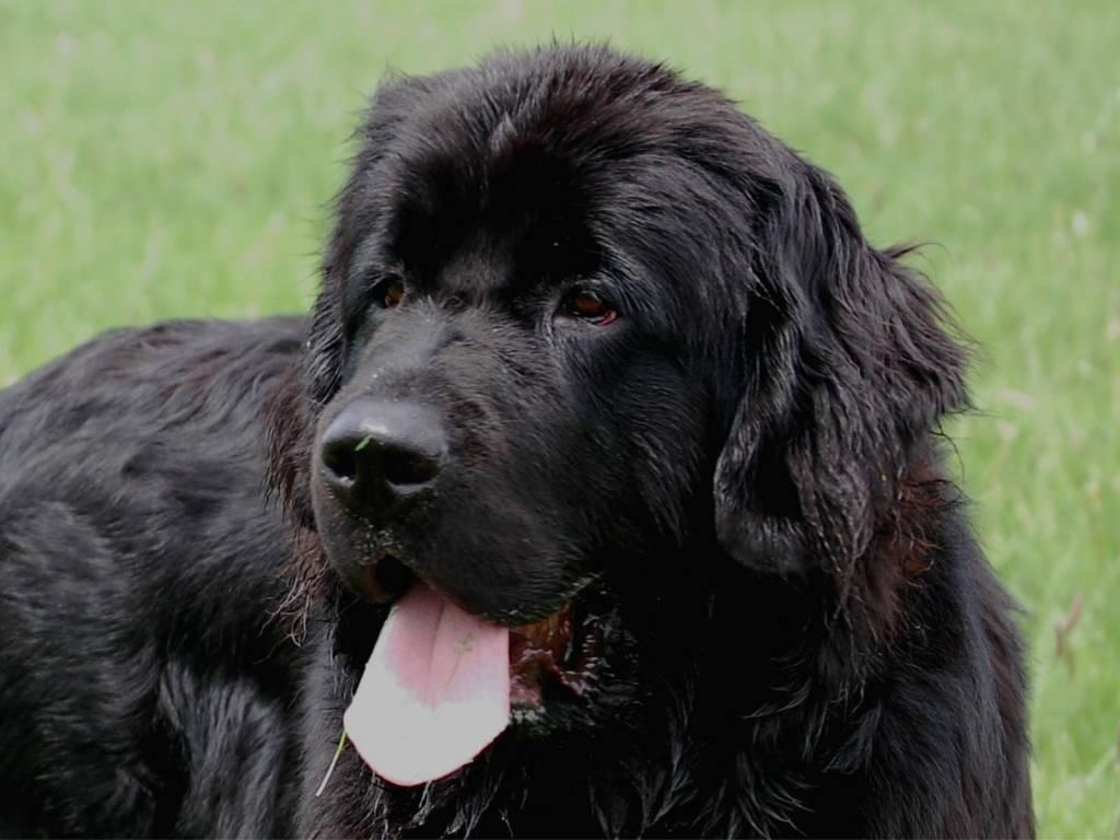Описание и особенности собаки породы ньюфаундленд (водолаз)