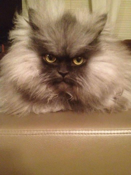 Породы самых красивых и пушистых кошек: описание и фото, особенности содержания