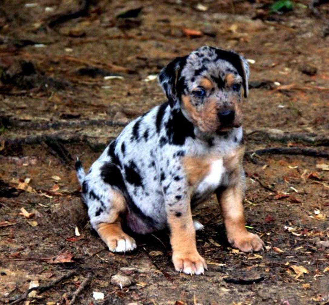 Леопардовая собака катахулы